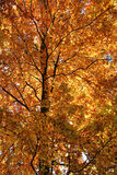 Orange treetop Royalty Free Stock Photos