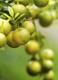Orange trägt Dekoration Früchte Lizenzfreie Stockfotos