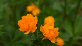 Orange Trollius flower in nature stock footage
