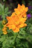 Orange trollius ledebourii flowers Stock Image