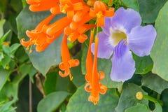 Orange Trompete, Flammenblume, Feuer-Crackerrebe, Pyrostegia-venusta, Bignoniaceae und Bengal stoppen Rebe, blaue Trompete, blaue Stockbilder
