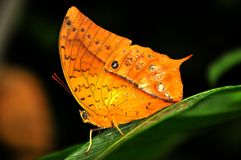 Orange Tropical butterfly. Orange butterfly probably in the Satyrinae family Stock Photography