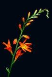 Orange tropical flower. On black background royalty free stock photos