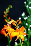 Orange tropical flower. Close up of an orange colored tropical flower royalty free stock images