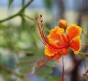 Orange tropical flower Royalty Free Stock Photos