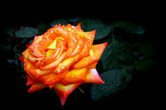 Orange tropical rose with dew drops Royalty Free Stock Images