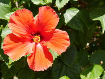 Orange tropischer Hibiscus auf Maui, Hawaii stockbild