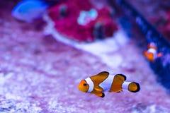 Orange tropisk fiskAmphiprionperkula (Premnas, clownfisken) Royaltyfri Fotografi