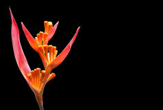 orange tropiskt ovanligt för blomma Royaltyfri Bild