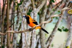 Orange Troupial som sätta sig på en filial fotografering för bildbyråer