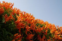 Orange trumpet. Flowers on the roof Royalty Free Stock Images