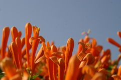 Orange trumpet. Flowers on the roof Stock Image