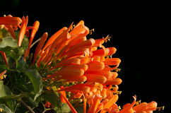 Orange trumpet on black background, Pyrostegia Venusta Stock Images
