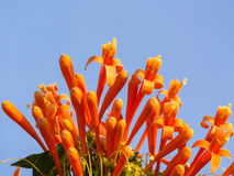 Orange trumpet on blue sky background, Pyrostegia Venusta Stock Image