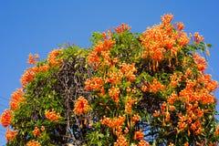 Orange trumpet blue sky Stock Photography