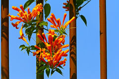 The orange trumpet creeper flowers. The vibrant orange trumpet creeper pyrostegia venusta flowers against blue sky background stock photo