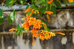 Orange trumpet, Flame flower, Fire-cracker vine Stock Photography