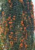 Orange trumpet. / Flame flower / Fire-cracker vine Stock Photography