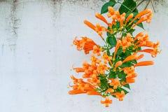 Orange trumpet, Flame flower, Fire-cracker vine,Pyrostegia venus Royalty Free Stock Photo