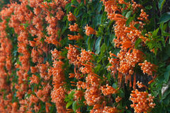 Orange trumpet, Flame flower, Fire-cracker vine on the wall Stock Images