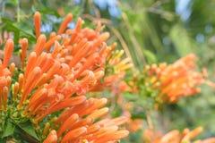 Orange trumpet flower Royalty Free Stock Photo
