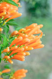 Orange trumpet flower Royalty Free Stock Photography