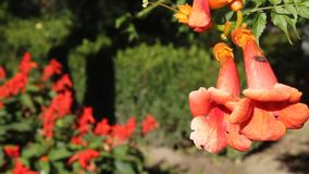 Orange trumpet. Flowers and insects stock video footage