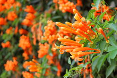 The orange trumpet is in the garden. Royalty Free Stock Photography