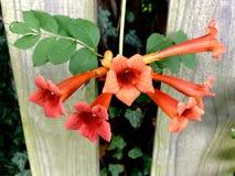 Orange trumpet Honeysuckle Flowers In Bloom royaltyfria foton