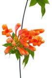 Orange trumpet Stock Photography