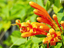 Orange trumpetblomma arkivbilder