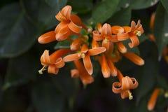 Orange trumpets Stock Photography