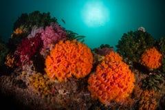 Orange Tubastrea koraller på den djupa reven arkivbilder
