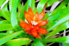 Orange Tufted airplant blooming (Guzmania sp) - Shallow DoF Stock Photos