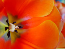 Orange tulip. Look into its heart Stock Photography