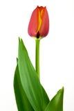 Orange Tulip. Close-up macro isolated on white background Royalty Free Stock Photos