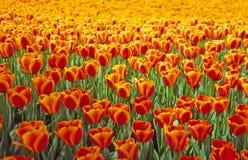 Orange tulip. In the field stock photo