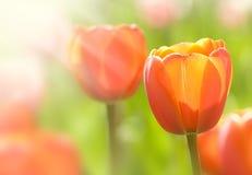 Orange tulip Stock Image