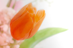 Orange Tulip. An artificial tulip shot against white background Royalty Free Stock Image