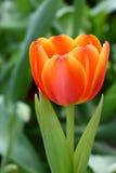 Orange tulip. The blooming orange tulip in the spring stock images