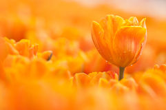 Orange tulip. An sharp orange tulip with water drop on the blur one stock photo
