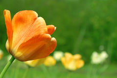 Free Orange Tulip Stock Photography - 3567412