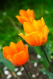 Orange tulip Stock Photo