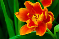 Orange Tulip. Close-up of an orange tulip flower with green background stock images