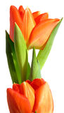 Orange Tulip. A pair of orange tulips royalty free stock photo