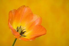 Orange Tulip Against Orange Background Royalty Free Stock Image
