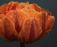 Orange tulip in Amsterdam. This orange tulip, decorating a bridge in the old city of Amsterdam, was still covered with rain drops after a spring shower when this Royalty Free Stock Image