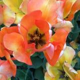 Orange tulip Stock Photos