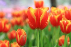 Orange tulip. On background blur Royalty Free Stock Photography