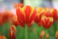 orange tulip Royalty Free Stock Photography